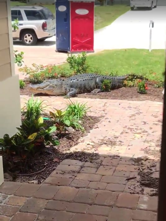 A large alligator that stopped by a new home on Tuesday.