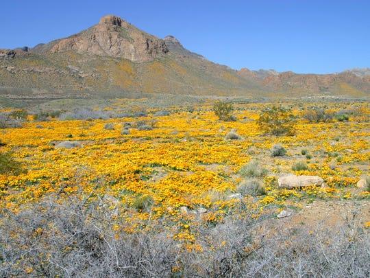 Poppies bloom on Castner Range in Northeast El Paso.