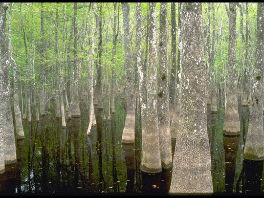 Black water swamps like this one in Leon Sinks Geological Area are common in the Apalachicola National Forest.