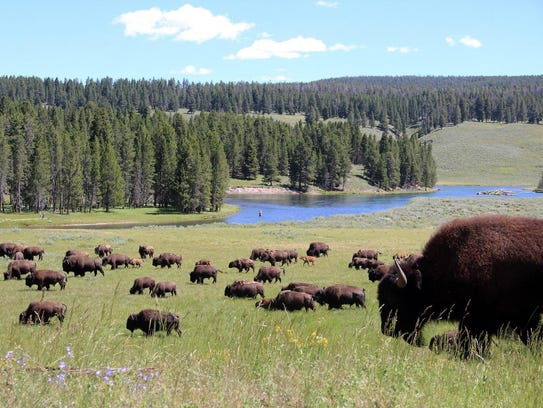 A herd of bison grazes past an angler fishing in the