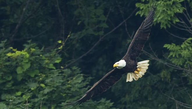 A bald eagle at Eagle Creek Reservoir in Indianapolis,  Saturday, July 2, 2011.