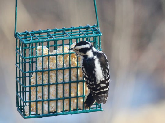Hairy woodpeckers are often misidentified because they look so much like their smaller distant cousin, the downy woodpecker. You'll have a good chance of seeing both during next week's Great Backyard Bird Count (Feb. 16-19).