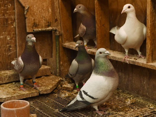 A closeup of some pigeons in one of the coops on Charles Morgan's property in Rhinebeck.