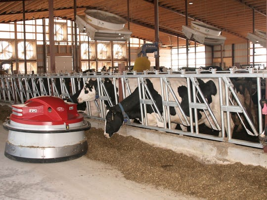 A Juno robotic feed pusher keeps feed within easy reach of the animals throughout the day, and 26 fans help keep the cows cool and comfortable.