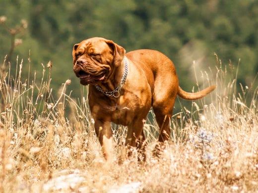 67. Dogues de Bordeaux • 2016 rank: 63 • 2007 rank: