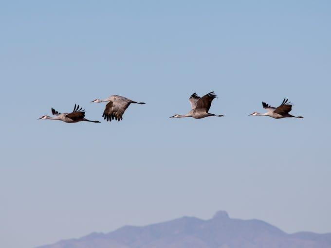 Sandhill cranes take flight, January 16, 2015, at Whitewater