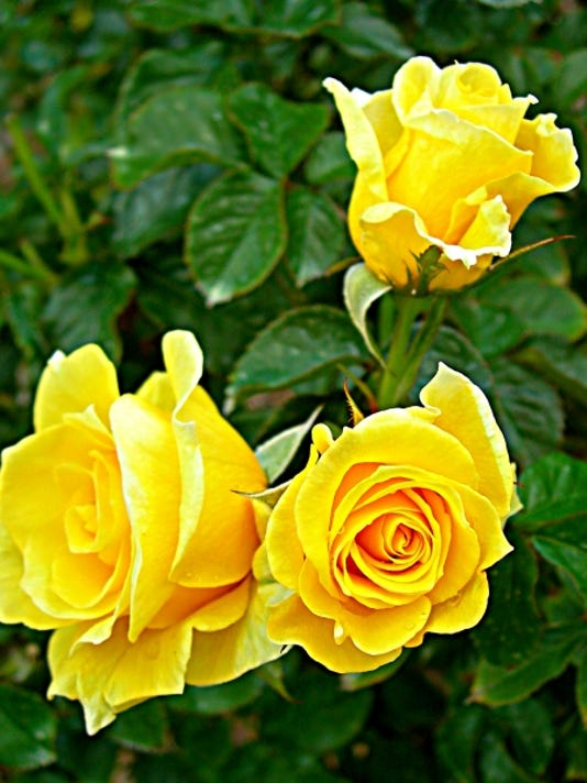 636213942004180523-Rosa-Sun-Flare-b-Feb-12--yard-doc.jpg