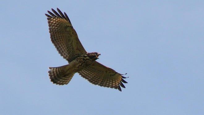 A red-shouldered hawk takes flight near Baldwin Creek northwest of Lawrence.