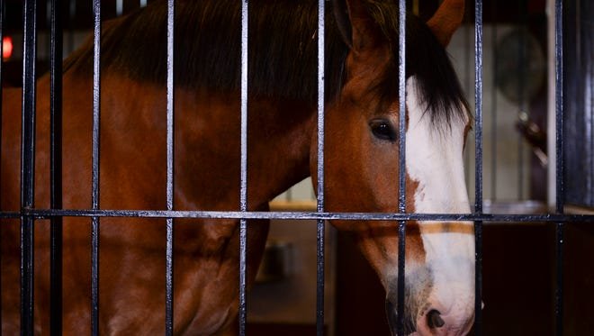 One of the ten Clydesdale horses visiting the Fort Collin's Anheuser-Busch Brewery occupies his pen Monday, March 2, 2015.