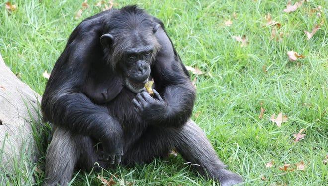 Female chimpanzee eating a banana.