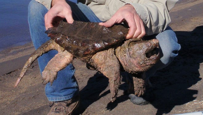 Jason Journey, an Oregon Department of Fish and Wildlife biologist, holds an invasive alligator snapping turtle that was captured at Prineville Reservoir.