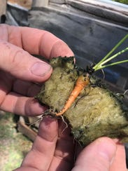 A new crop of carrots will be ready soon at Wichmann