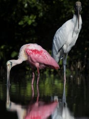 A spoonbill  and a woodstork feed in the shallows on