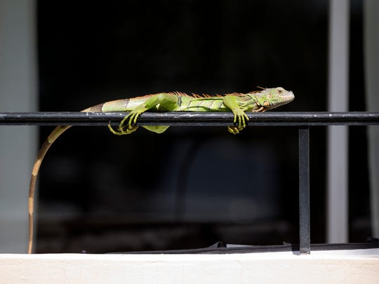In this Thursday, Feb. 9, 2017 photo, an iguana lounges on a railing on a condominium in Sunny Isles Beach, Fla. Perched in trees and scampering down sidewalks, green iguanas are so common across the suburbs here that many see them as reptilian squirrels instead of exotic invaders. (AP Photo/Wilfredo Lee)