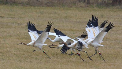 Whooping cranes in eastern Jefferson County in 2010.