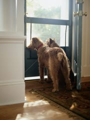 Two Irish terriers looking out the front door.