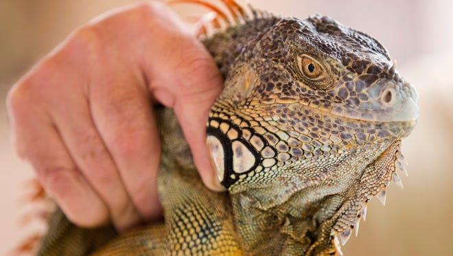 In this Thursday, Feb. 9, 2017 photo, trapper Brian Wood holds an iguana he caught behind a condominium in Sunny Isles Beach, Fla. Wood primarily hunts alligators and tans their skins for luxury leather goods, but he's received so many calls from homeowners seeking help with iguanas in the last several years that he created a pest control business called Iguana Catchers. (AP Photo/Wilfredo Lee)
