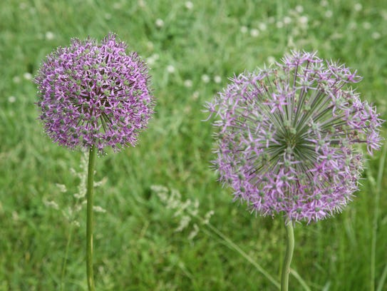 Allium in bloom at Rutgers Gardens in New Brunswick