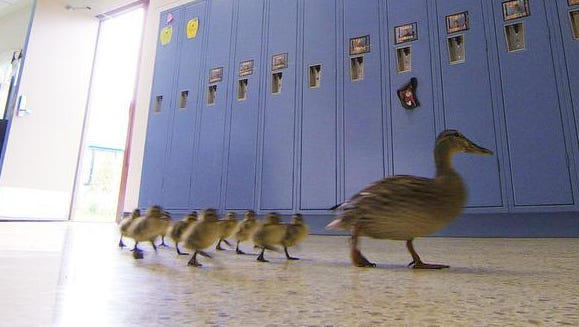 Vanessa the duck leads her offspring through the halls of the Village Elementary school in Hartland.
