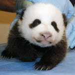 The National Zoo's seven-week-old panda cub is examined Oct. 15, 2013, in Washington, D.C.