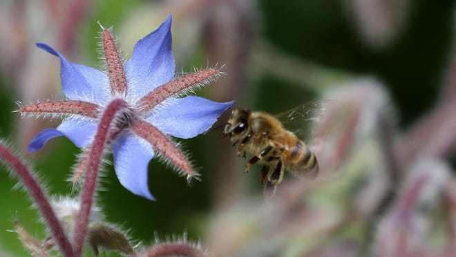 A bee buzzes around borage in bloom. Borage is among the plants that will welcome bees to your garden.