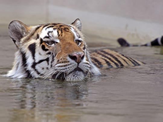 Mike VI soaks himself in his pool at LSU in May. The