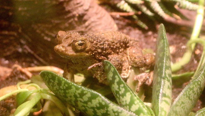 The Puerto Rican crested toad is part of an ongoing breeding program at the Detroit Zoo in Royal Oak.