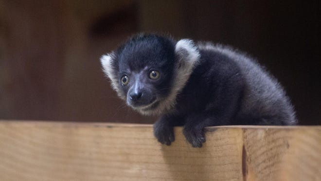 A baby lemur takes some of its first steps outside her box Tuesday at the Topeka Zoo.