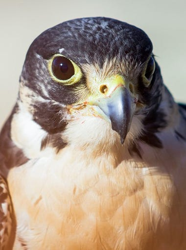 Falconers say their sport has saved peregrine falcons, like this one, from extinction.