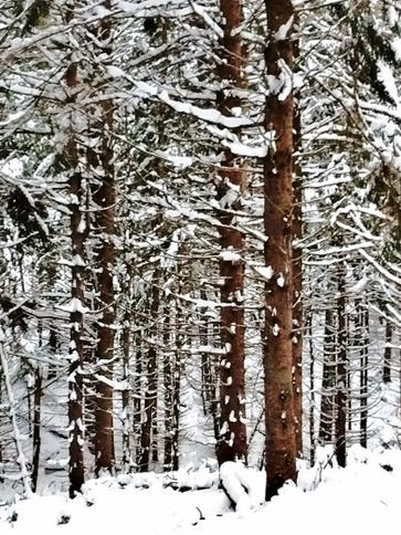 A forest of Norway spruce lines the North End Ski Trail