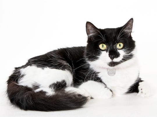 Chiquita, 1-year-old female domestic longhair. No. 94856.
