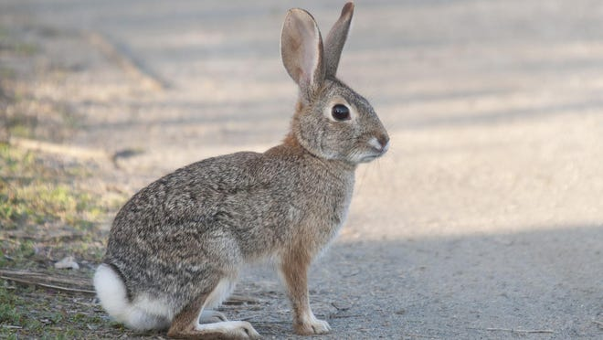 Rabbit hemorrhagic disease virus is highly contagious and can jump between wild and domestic populations.