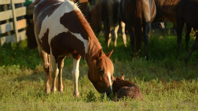 A Chincoteague Pony mare nudges its young foal in the holding pen on Assateague Island, Va. on July 20, 2013 after the southern herd roundup before the 88th Annual Chincoteague Pony Swim.