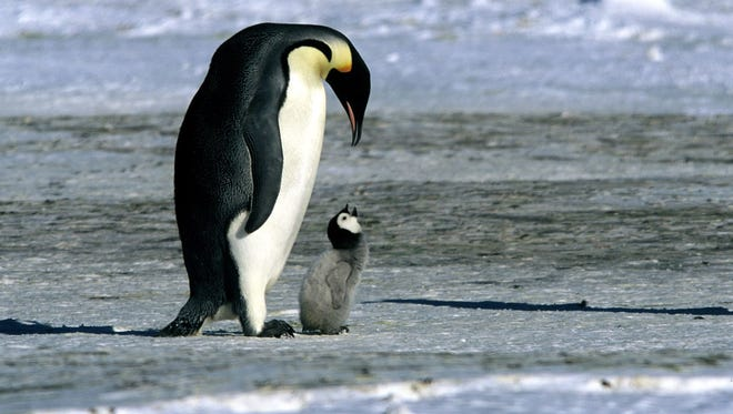 """The 2005 documentary hit """"March of the Penguins"""" has spawned a sequel, """"March of the Penguins 2: The Next Step."""" It debuts on Hulu March 23."""