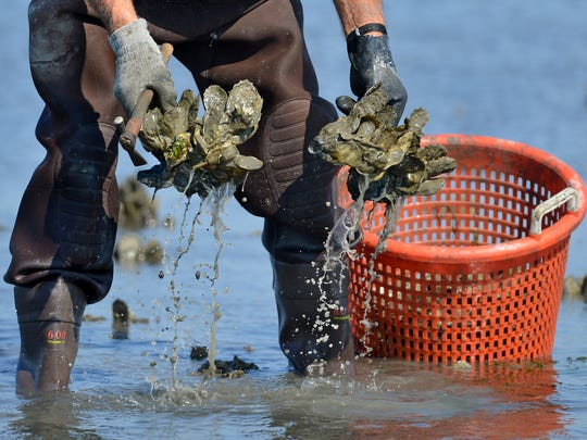 An oysterman pulls oyster clusters in this file photo.