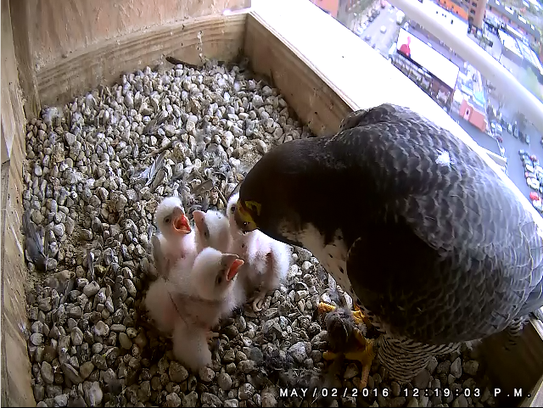 The latest census showed approximately 35 peregrine