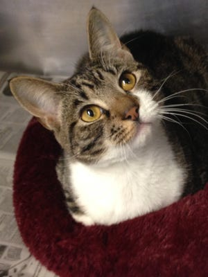 Tabby is very pretty, playful and in search of her forever home.