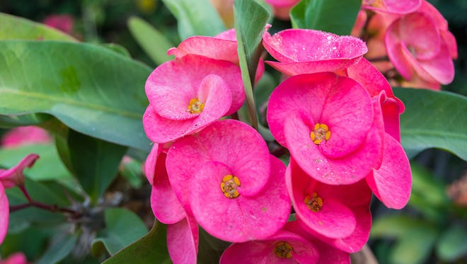 Crown of thorns flowers, Euphorbia milli Desmoul whit green back