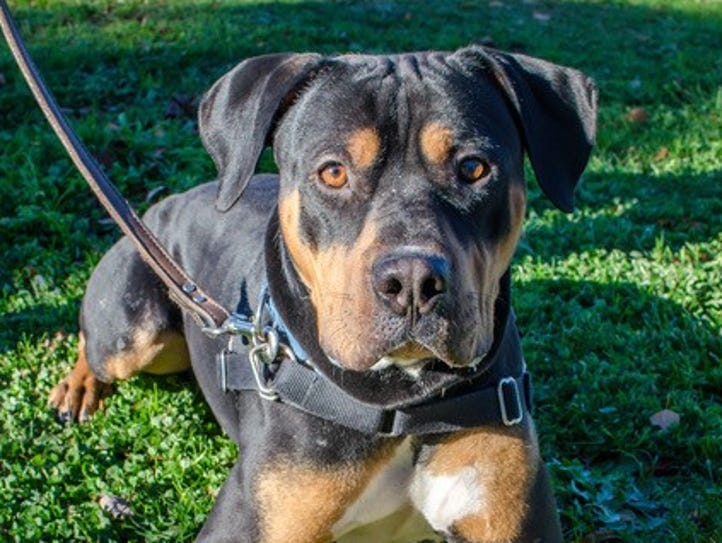 Ozzie is a 1-year-old Rottweiler mix who is a happy,