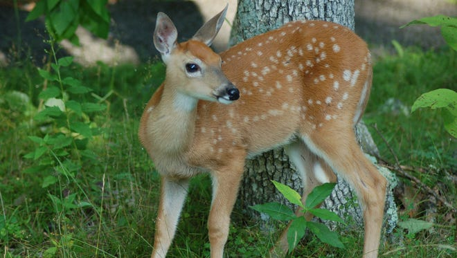 Fawns like this one will soon be born this spring.