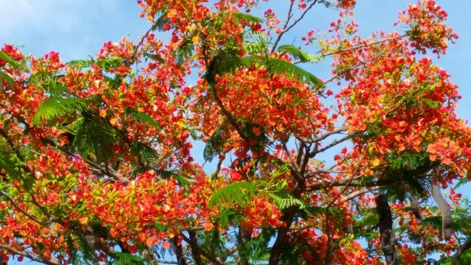 Royal poinciana blooms during the summer and is deciduous during the winter.