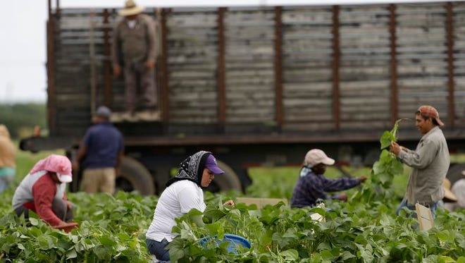Farmworkers pick beans in a field, Nov. 18, in Florida City, Fla. One group that is likely to benefit quickly from any immigration reform effort by Congress or the Obama administration are agriculture workers.