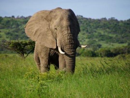 African elephant   (Bob Ingle Photo)