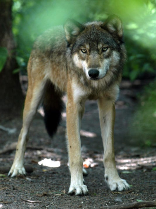 w11-21-Grand Canyon-Wolf.jpg