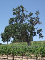 Towering oak trees are often found among vineyards in Paso Robles.