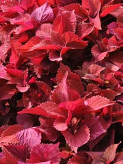 Beautiful summer color for gardens and containers in patriotic hues can be done with plants that love the heat. A combination of Coleus 'Redhead' (pictured) bordered by wing Caladium 'White Pearl' and Blue Daze will hold up to the summer weather and full sun, though partial shade works too. Other red plant options include Pentas, Caladiums, Gregg's Salvia, Lobelia, Pineapple Sage and Blanket flowers.