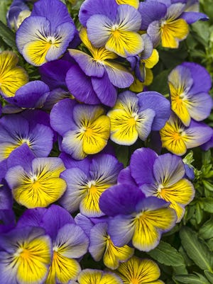 Frozen inside ice cubes, pansies and violas add a colorful accent.