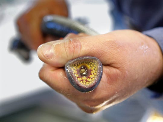 A technician holds a sea lamprey, an invasive species.