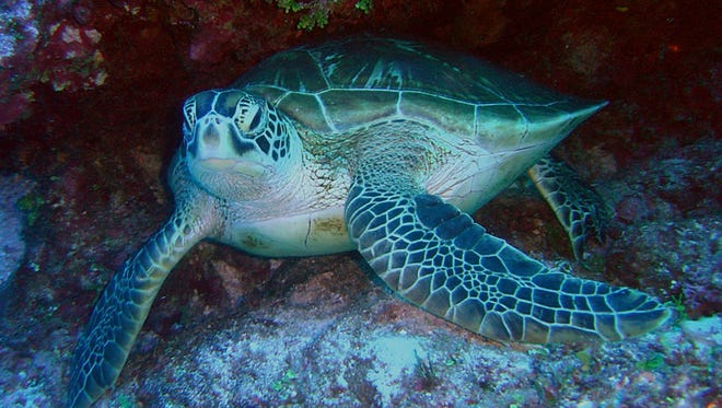 A green sea turtle is shown in this National Oceanic and Atmospheric Administration file photo.