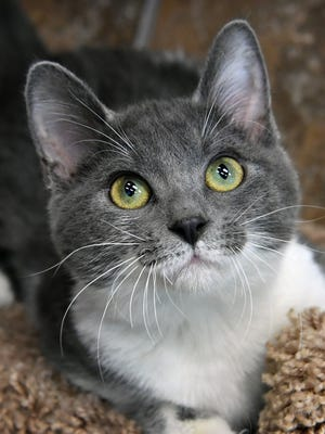 Irie is a 7-month-old, gray and white, female domestic short-haired cat. She is playful, affectionate and is available for adoption at the Wichita Falls Animal Services Center.